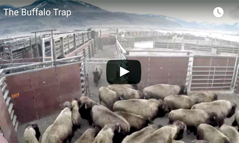 WARNING ... This Video Will Break Your Heart: 150 Wild Buffalo Captured at Yellowstone