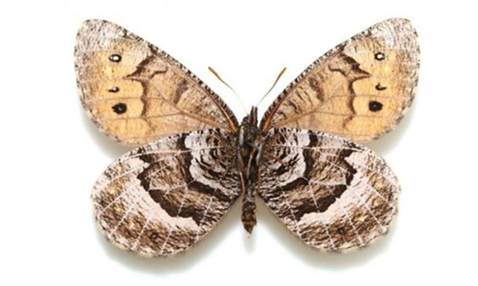 First New Butterfly Species Found in Alaska in 28 Years: Is it an Ancient Hybrid?