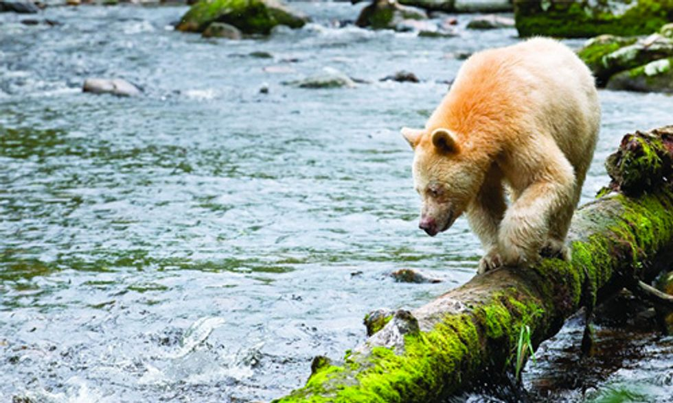 Great Bear Landmark Agreement Protects World's Largest Temperate Rainforest