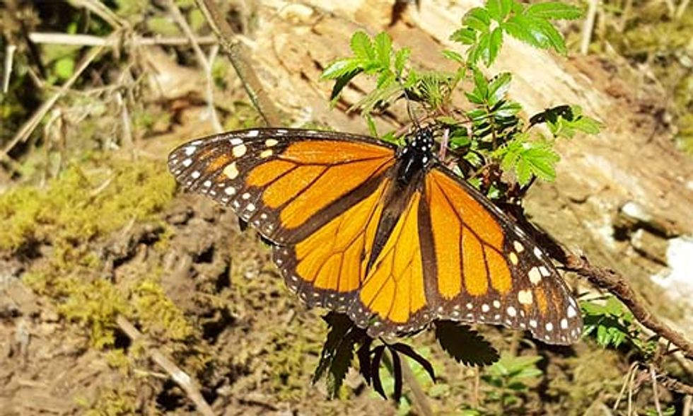 Eastern Monarch Butterflies at Risk of Extinction