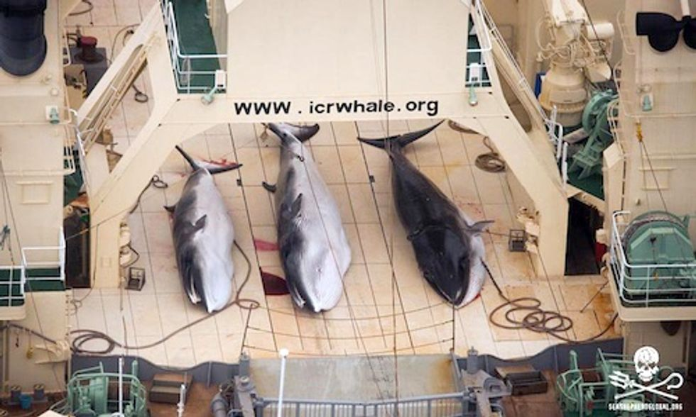 Japan Kills 333 Minke Whales Including 200 Pregnant Females