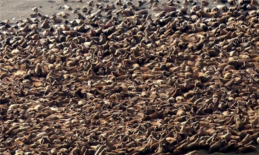 700 Walrus Seen Near Shell Oil Rigs in Arctic as Obama Visits Alaska