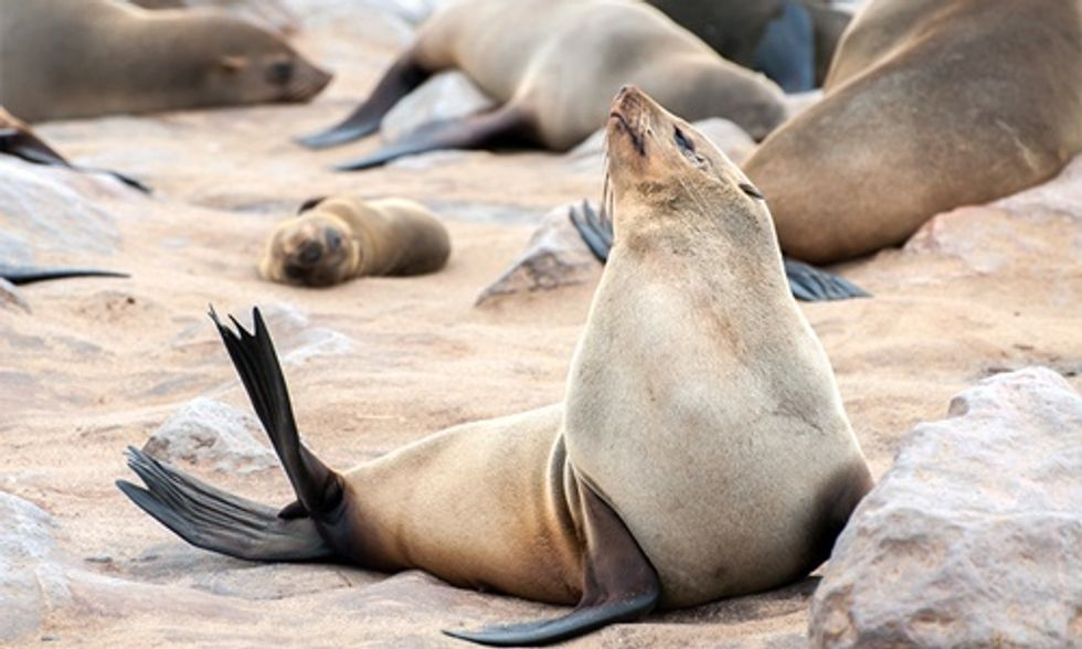 Endangered Fur Seals Dying at Alarming Rate Along California Coast