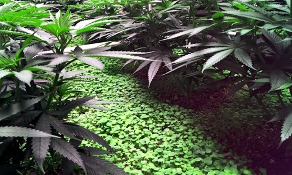 The Carbon Footprint of Growing Pot and the Quest for Organic Weed