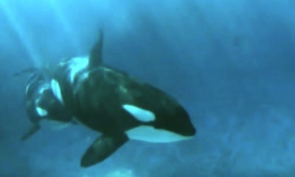 SeaWorld Orca Too 'Depressed' to Nurse Her Calf + 7 Other Reasons Killer Whales Should Not Be Captive