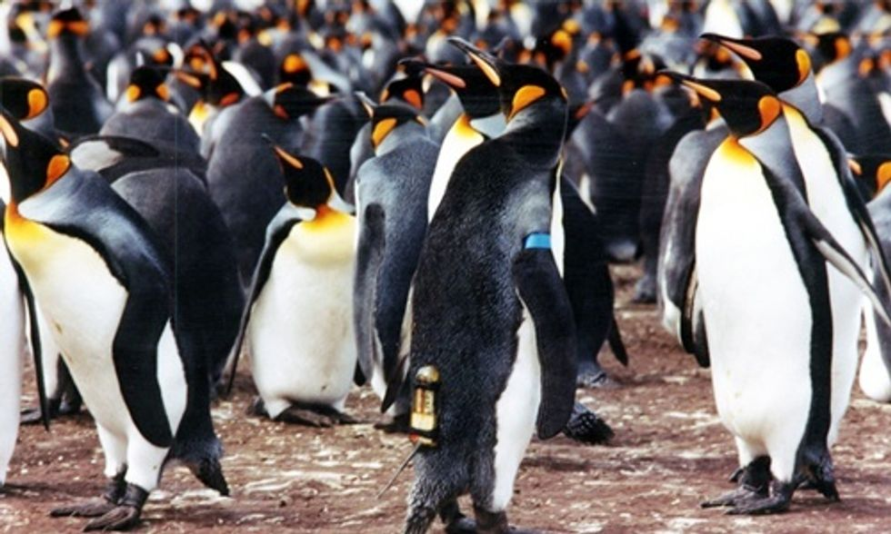 Climate Change 'A Serious Threat' to King Penguins, Study Warns