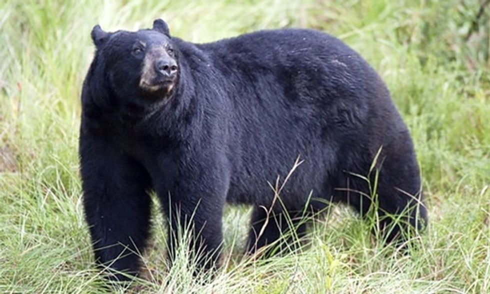 295 Bears Killed in Florida's First Black Bear Hunt in Decades