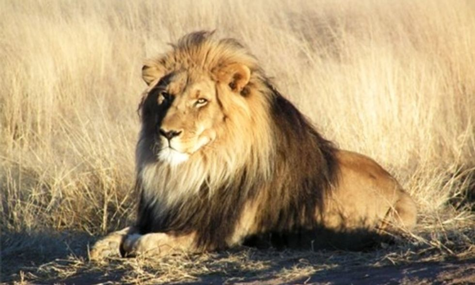 Illegal Hunter Mauled to Death by African Lion