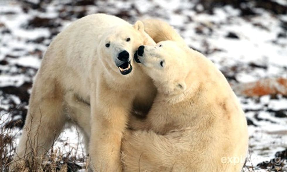 Watch Live as Polar Bears Congregate Waiting for Sea Ice to Form