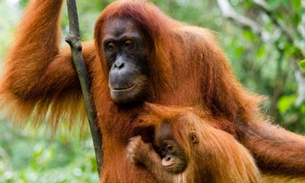 One-Third of World's Orangutans at Risk From Fires in Sumatra and Borneo