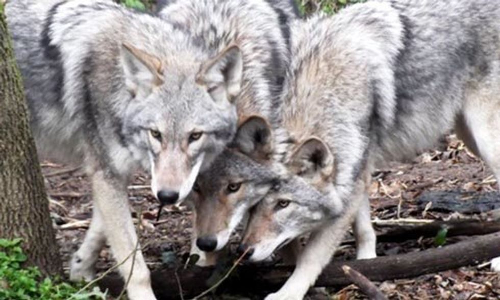 Millions of Dog-Coyote-Wolf Hybrids Now Roam Eastern U.S.
