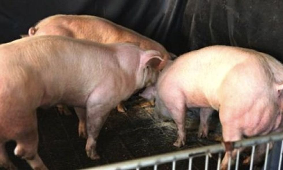 Is GMO Pork the Future of Our Food?