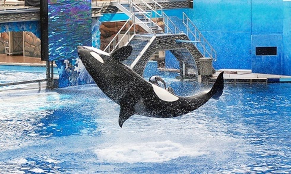 No, SeaWorld Is Not Phasing Out Orca Shows
