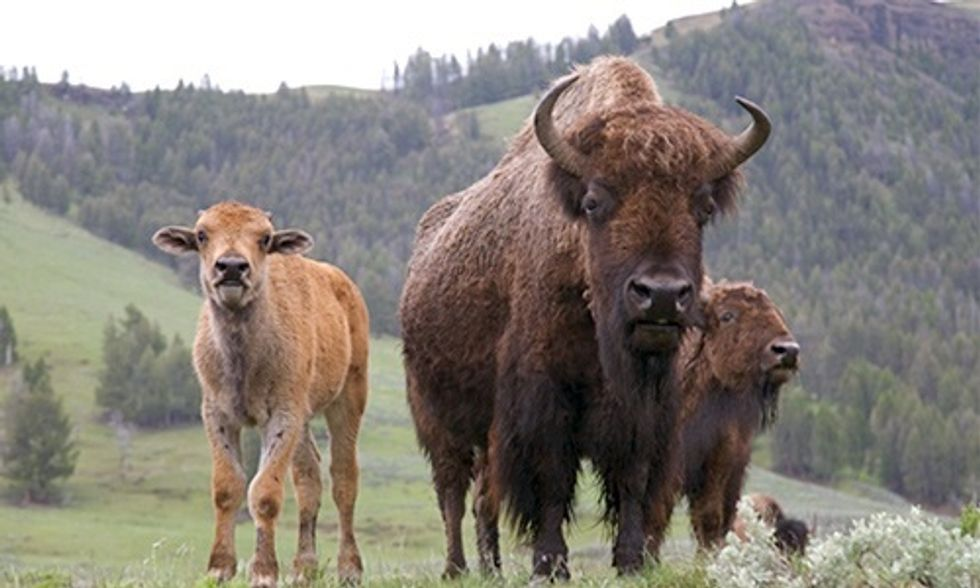 Yellowstone National Park Proposes Slaughtering 1,000 Wild Bison