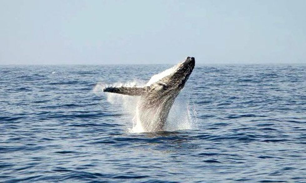 Landmark Ruling Finds Japanese Whalers Guilty of Contempt of Court