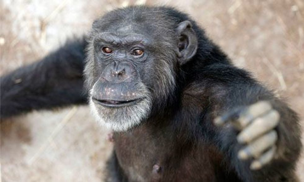 Huge Victory: U.S. Government Slams Door on Invasive Experiments on Chimps