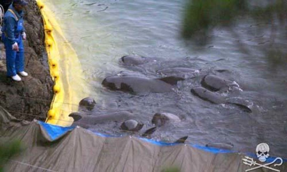 Extremely Disturbing Video Shows Pilot Whale Being Tied and Drowned by Taiji Hunters