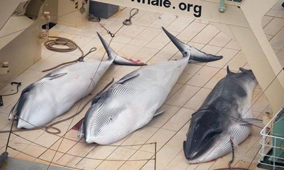 Sea Shepherd Condemns Japan's Plan to Slaughter 4,000 Minke Whales