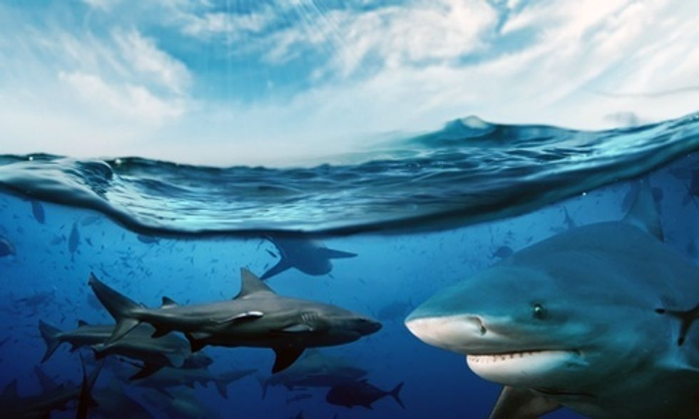 Why Do We Kill 100 Million Sharks Each Year?