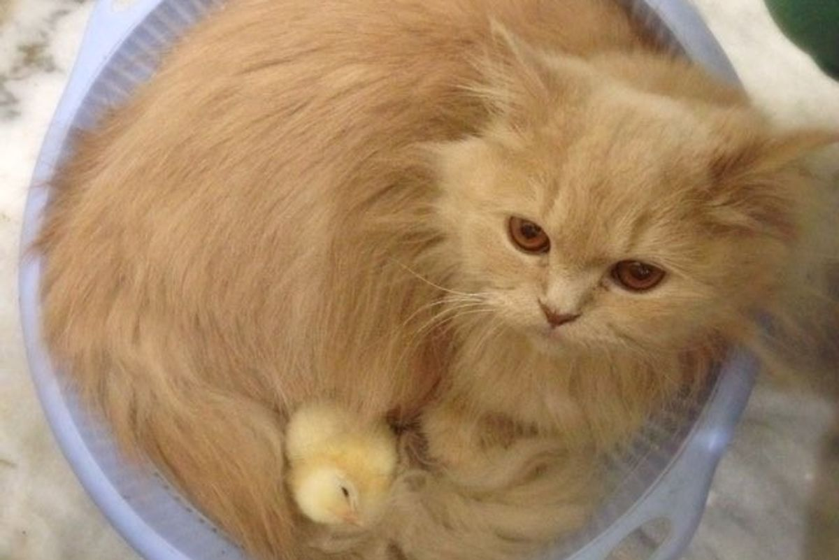 Bonnie the Cat Decides to Become Mom to Two Little Chicks