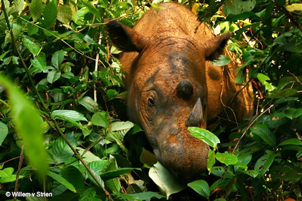 Researchers Celebrate First Live Encounter With Sumatran Rhino in Borneo for 40+ Years