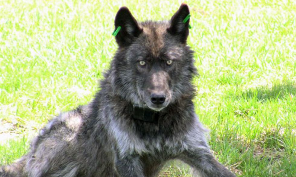 Family of Wolves Shot Dead in Oregon
