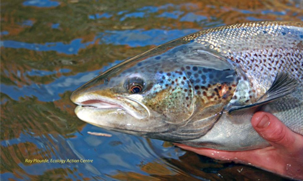 What Will Happen When Genetically Engineered Salmon Escape Into the Wild?