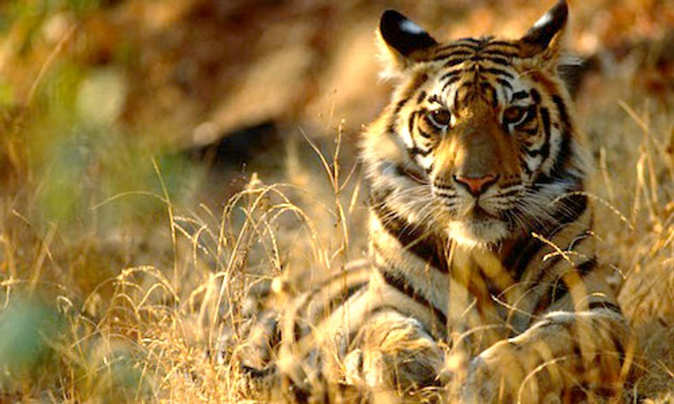 WWF and Leonardo DiCaprio: Wild Tiger Populations Increase for First Time in 100 Years