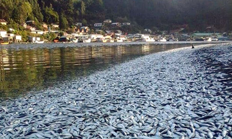 Thousands of Dead Sardines Found Floating in Chile's Queule River
