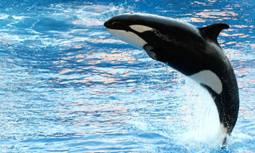 Trans Mountain Tar Sands Pipeline 'Final Harpoon' for Endangered Killer Whales
