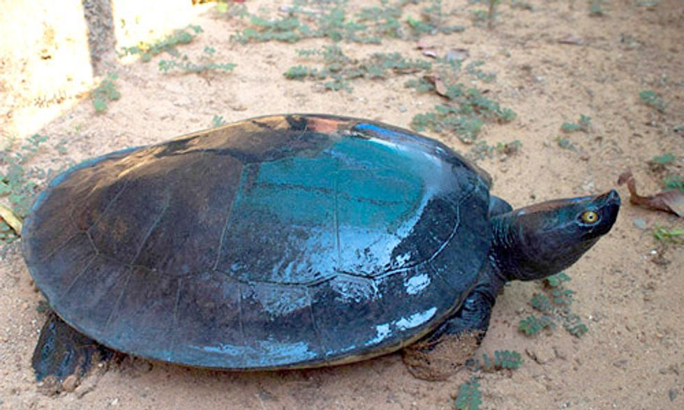 One of the World's Most Endangered Turtles Nearly Extinct With Fewer Than 10 Left in the Wild
