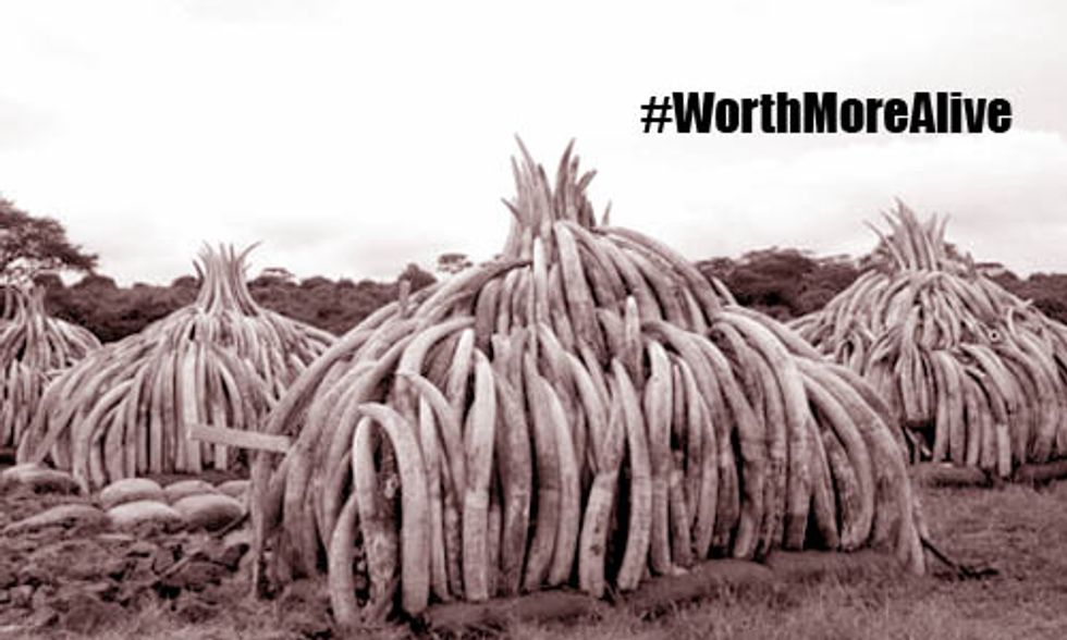 Kenya to Burn Biggest Ever Stockpile of Illegal Ivory