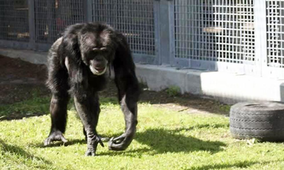 Chimpanzee's Solitary Confinement Comes to an End