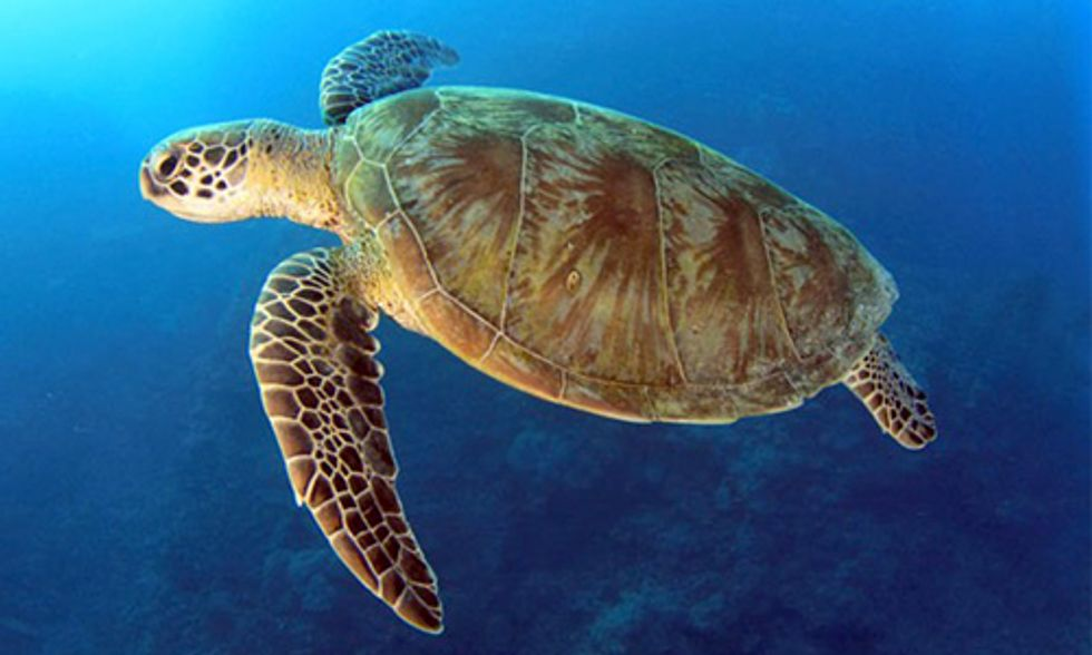 60% of Loggerhead Turtles Stranded on Beaches in South Africa Had Ingested Plastic