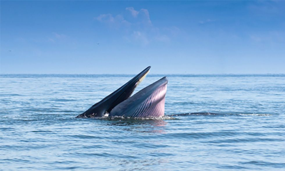 Will One of the World's Most Endangered Whales Be Saved Before It's Too Late?