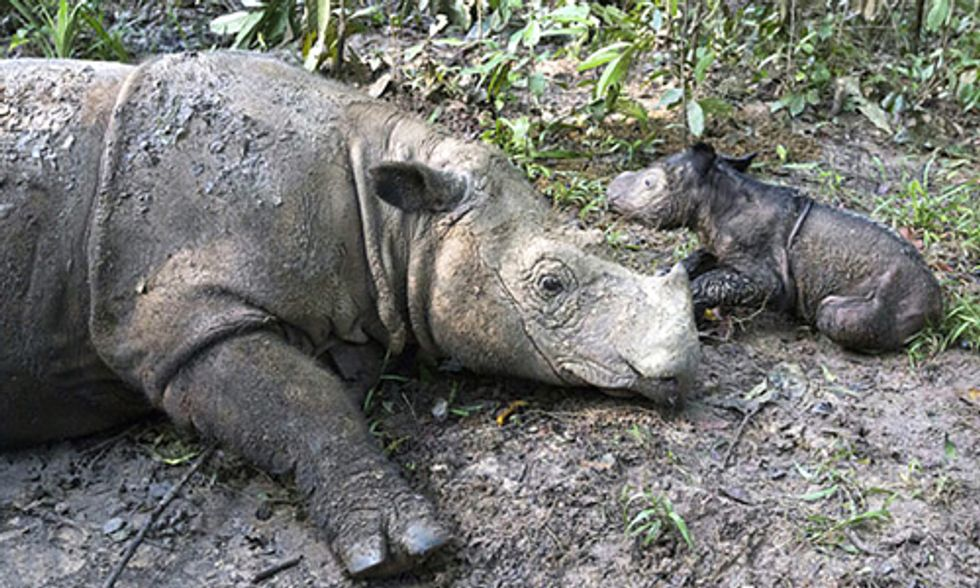 Rare Rhino Gives Birth to Adorable Baby Girl