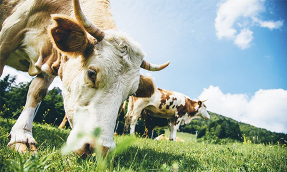 How Changing Livestock Feed Can Mitigate Climate Change