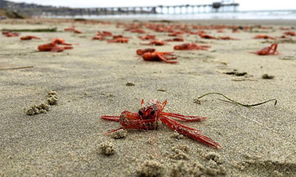 Thousands of Tiny Red Crabs Wash Up on California Coastlines