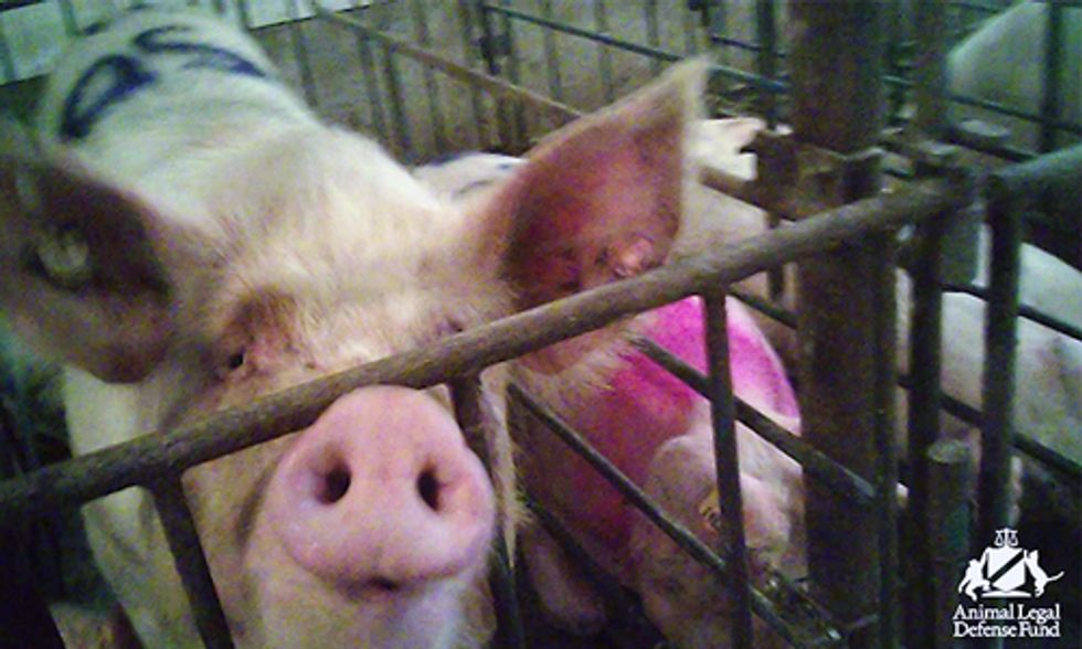 Undercover Investigation Exposes Shocking Neglect at Third Largest Pig Farm in U.S.
