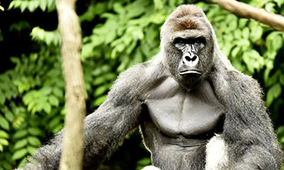 Leading Primatologist Weighs in on Controversy Surrounding Shooting and Killing of Harambe