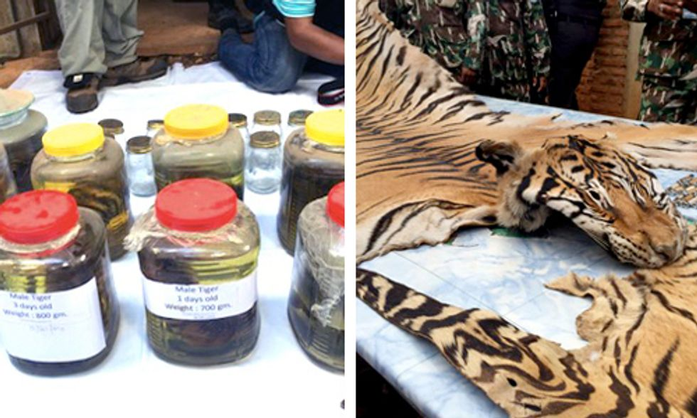40 Dead Tiger Cubs Found in Freezer at Thai Buddhist Temple
