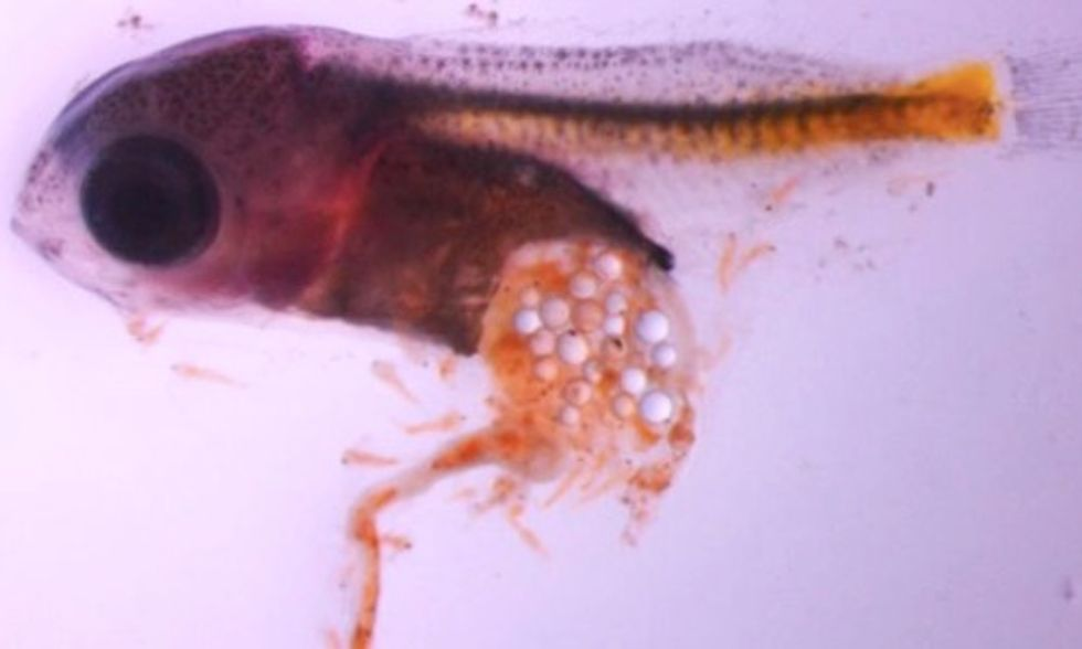 Microplastics Are Killing Baby Fish, New Study Finds