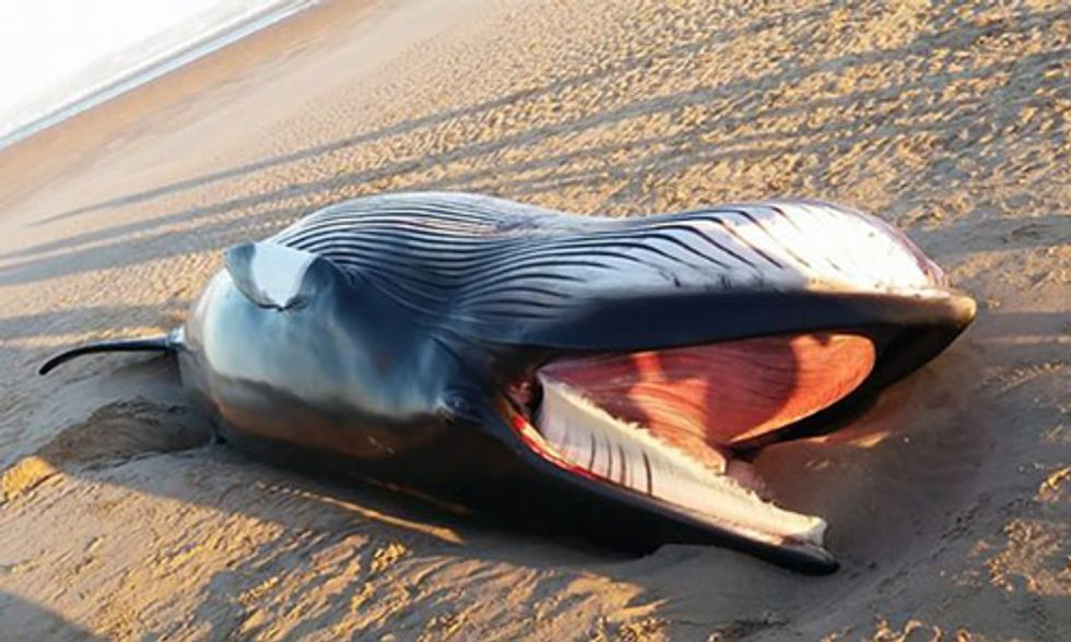 Dead Whale Washes Up on Scotland Beach After Being Tangled in Fishing Net