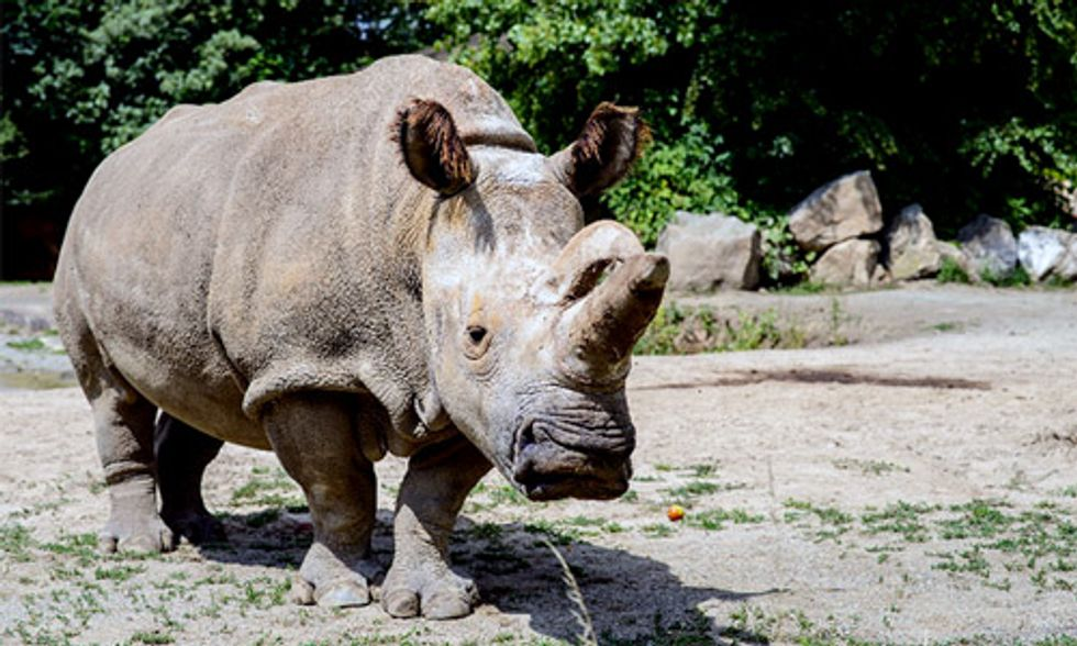 With Only 3 Northern White Rhinos Left in the World, Scientists Are Turning to Stem Cells to Save the Species