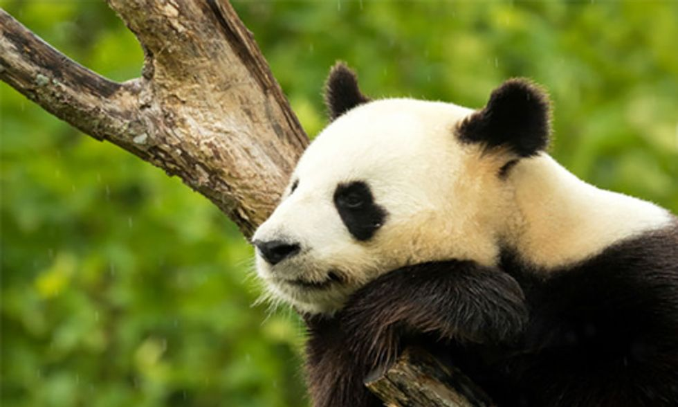 Is it Too Soon to Consider Removing Giant Pandas From the Endangered Species List?