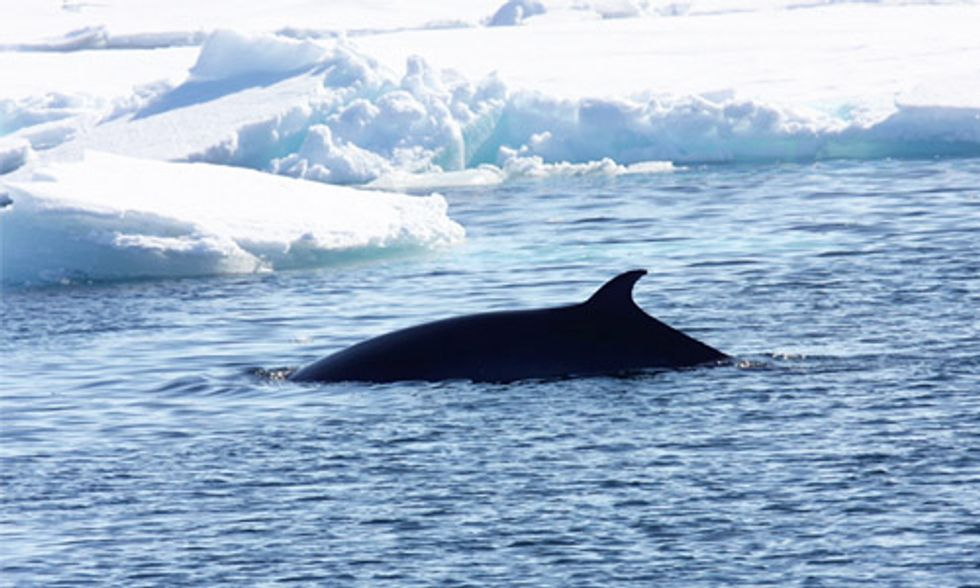 Norway Kills More Whales Than Japan and Iceland Combined