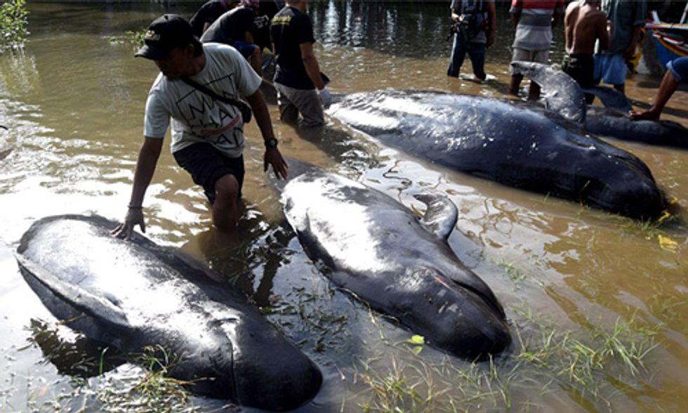 8 Pilot Whales Dead After Mass Stranding