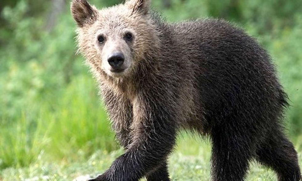 Cub of Beloved Grizzly Killed by Car as FWS Plans to Delist Yellowstone Bear