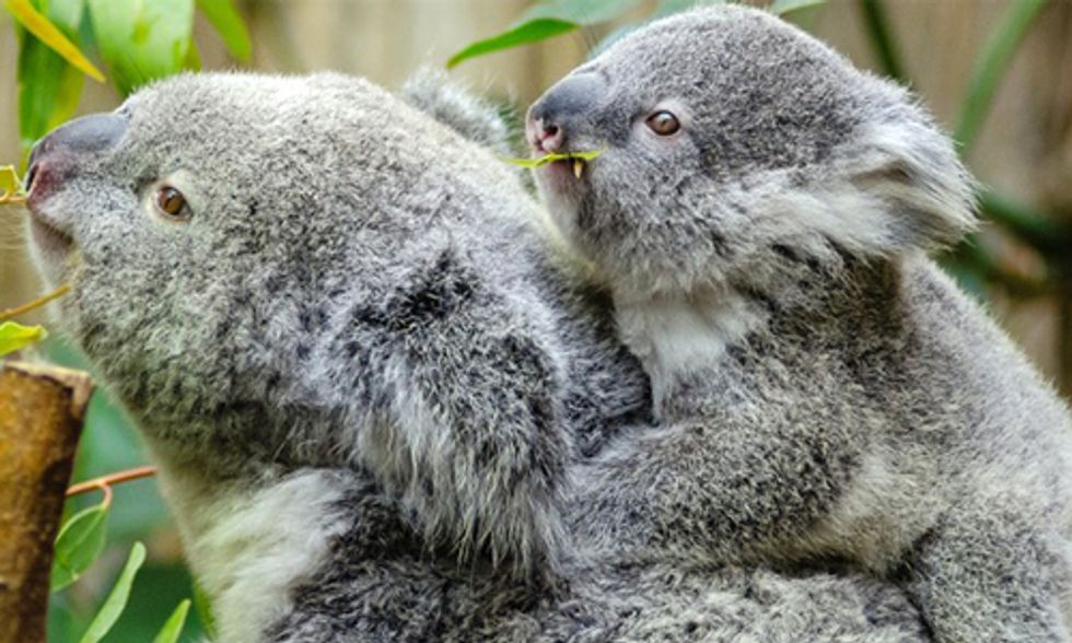 Climate Change Puts Squeeze on Cuddly Koalas