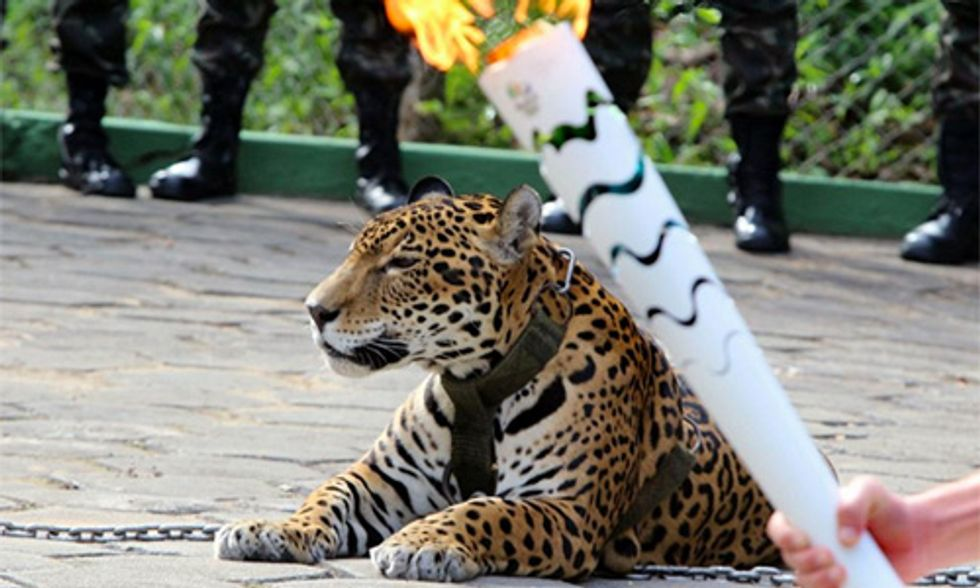 Jaguar Shot Dead After Olympic Torch Passing Ceremony in Brazil